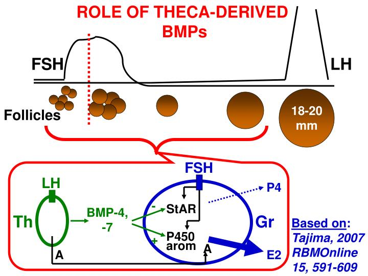 ROLE OF THECA-DERIVED