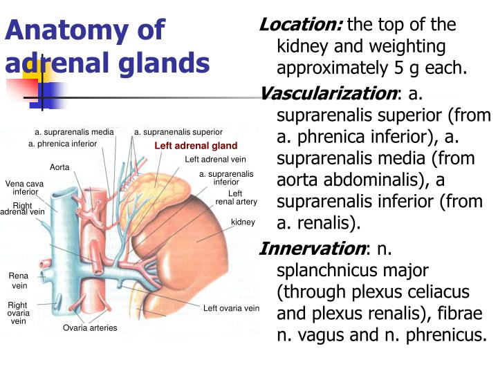 Ppt Anatomy Of Adrenal Glands Powerpoint Presentation Id4282403