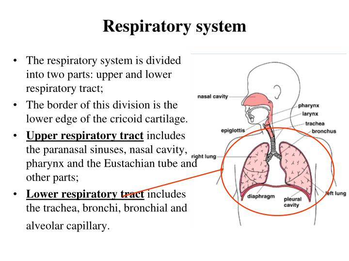 Ppt Anatomy Physiology Of The Respiratory System In Children