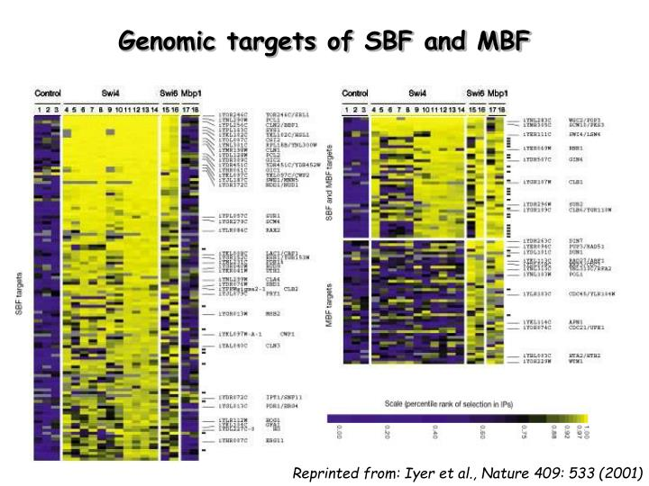 Genomic targets of SBF and MBF