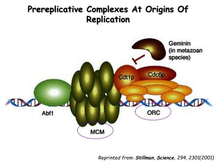 Prereplicative Complexes At Origins Of Replication