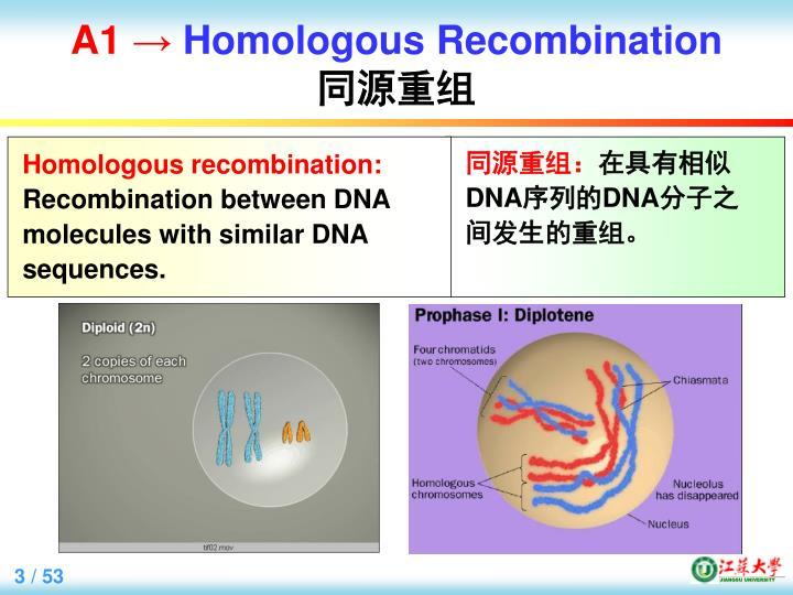 A1 homologous recombination