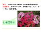 dianthus chinensis l var hededwigii regel 20 30cm 4 6cm