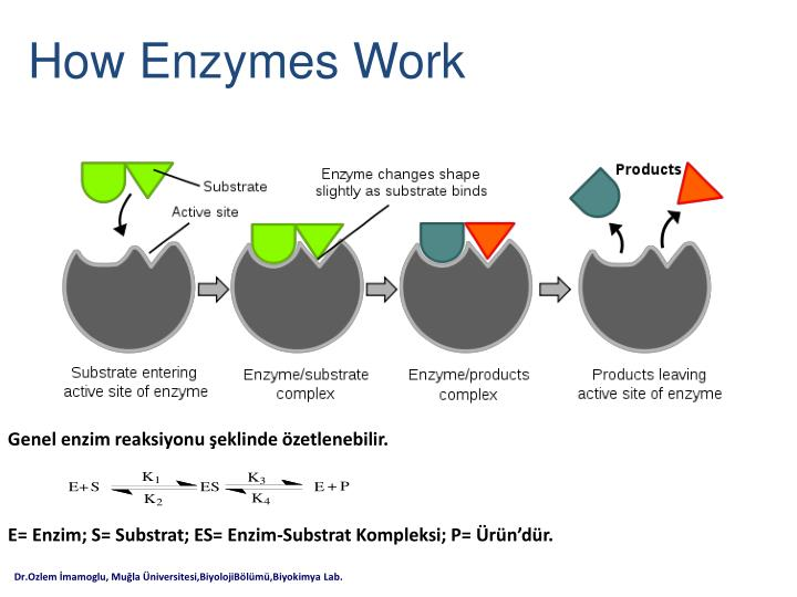 enzyme summary essay Enzymes are commonly used in our every day lives and are taken for granted they are used in such things as baking, detergents, food manufacture, fruit juice, oil and fat synthesis, pharmaceuticals, protein production, starch and sugar production, wine making and what i'm looking at, which is brewing.