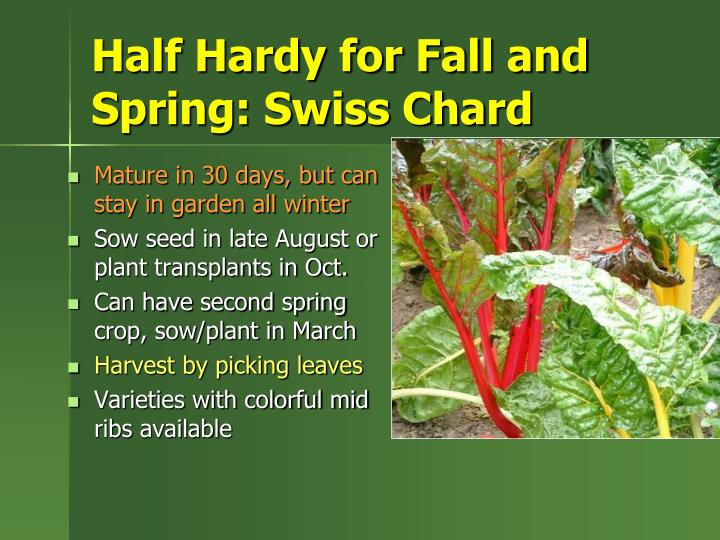 Half Hardy for Fall and Spring: Swiss Chard
