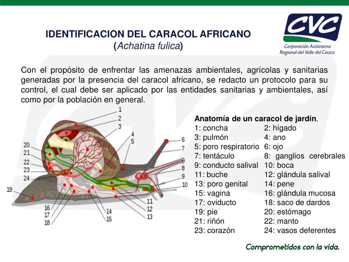 PPT - CARACOL AFRICANO PowerPoint Presentation - ID:4294225