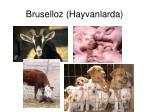 bruselloz hayvanlarda