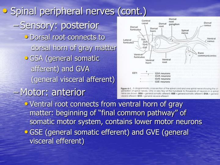 Spinal peripheral nerves (cont.)