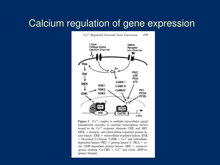 Calcium regulation of gene expression