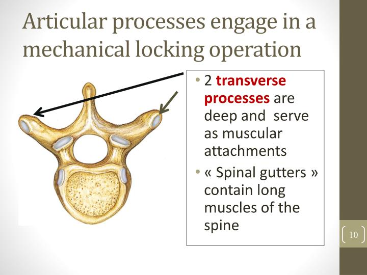 Articular processes engage in a mechanical locking operation