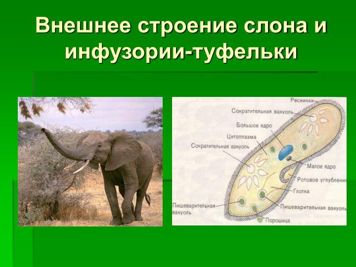 Внешнее строение слона и инфузории-туфельки