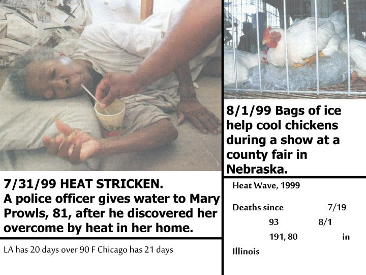 8/1/99 Bags of ice help cool chickens during a show at a county fair in Nebraska.