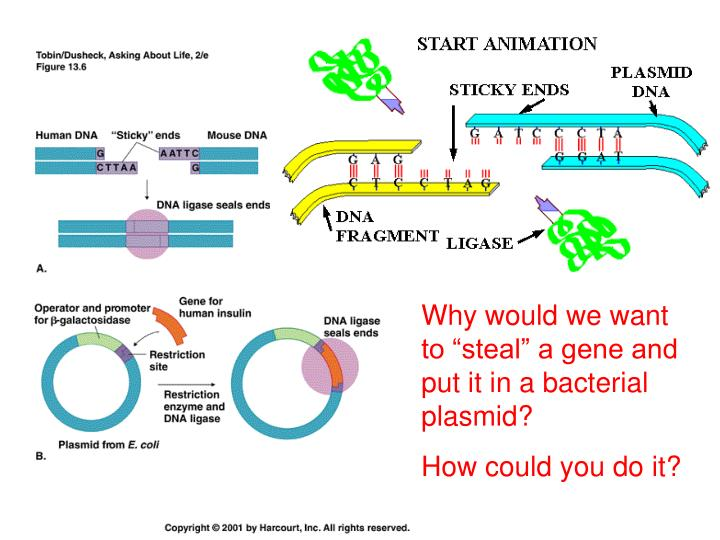 """Why would we want to """"steal"""" a gene and put it in a bacterial plasmid?"""