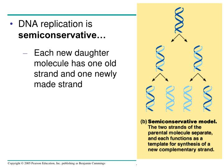 DNA replication is