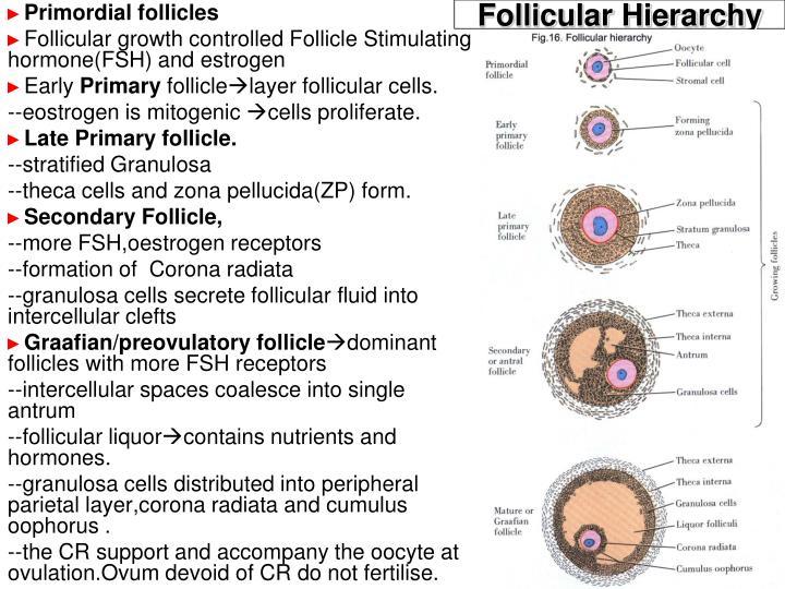 Follicular Hierarchy