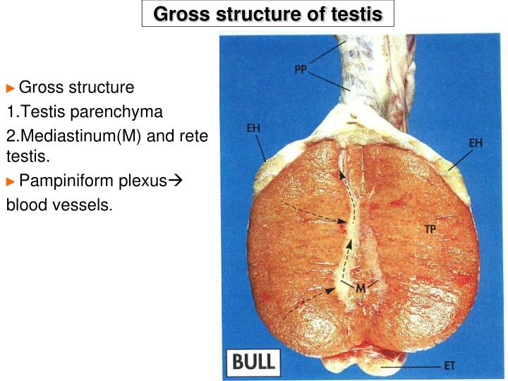 Gross structure of testis