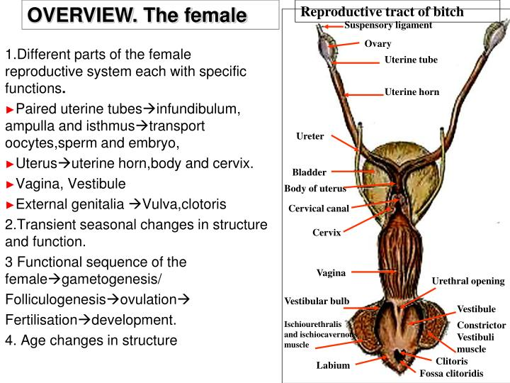OVERVIEW. The female