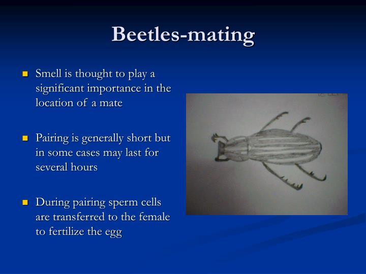 Beetles-mating