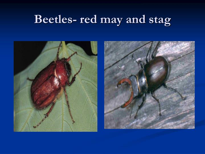 Beetles- red may and stag