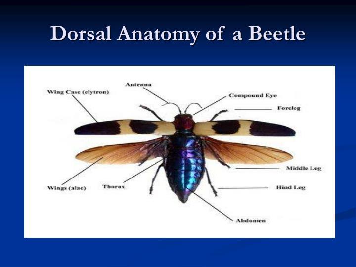 Dorsal anatomy of a beetle