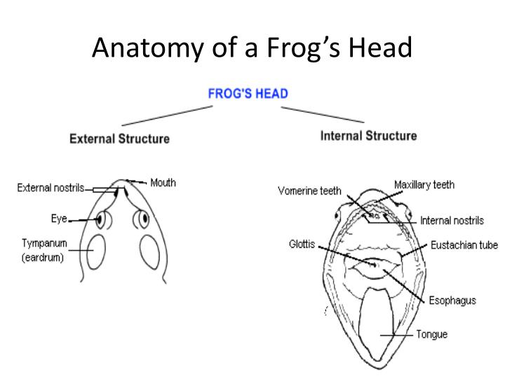 PPT - Frog Body Parts and Functions PowerPoint Presentation - ID:4321180
