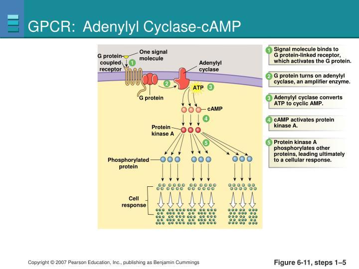 GPCR:  Adenylyl Cyclase-cAMP