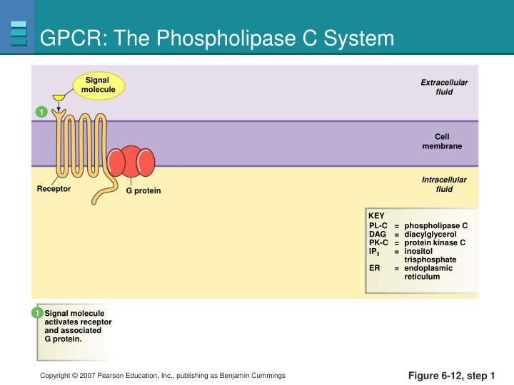 GPCR: The Phospholipase C System