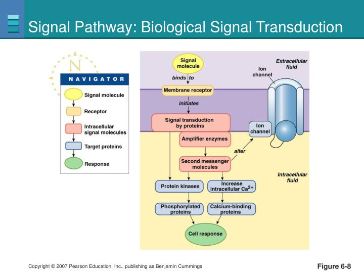 Signal Pathway: Biological Signal Transduction