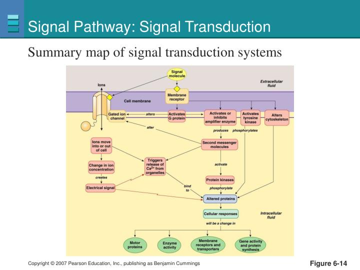 Signal Pathway: Signal Transduction