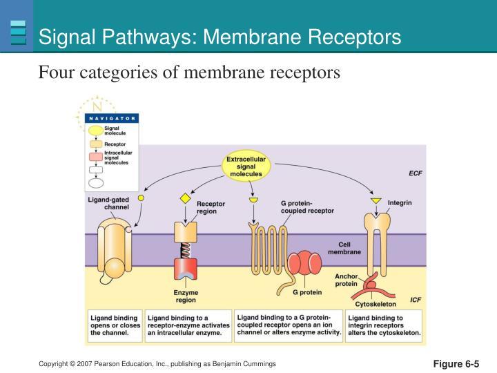 Signal Pathways: Membrane Receptors