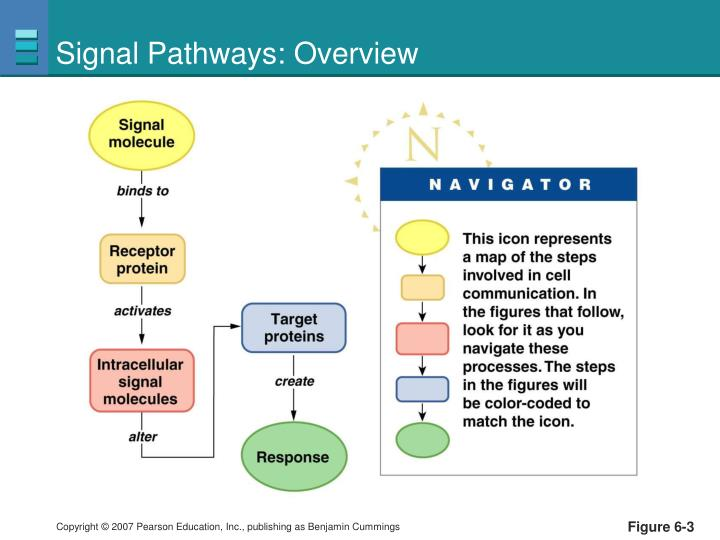Signal Pathways: Overview