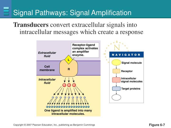 Signal Pathways: Signal Amplification