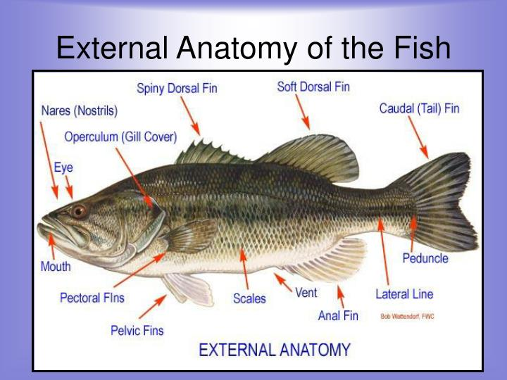 Ppt Fish Powerpoint Presentation Id4323587
