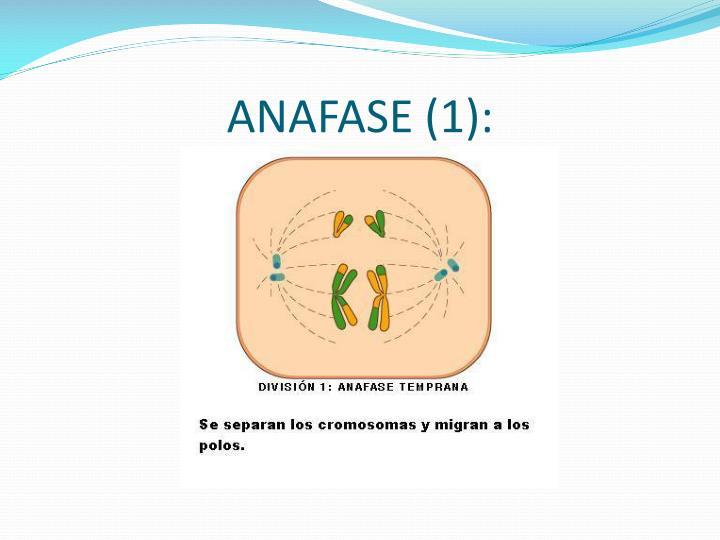 ANAFASE (1):