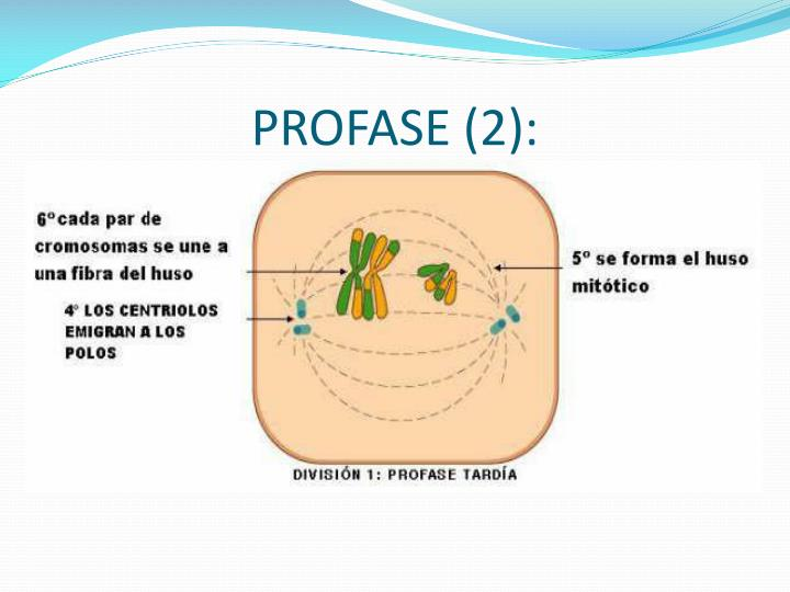 PROFASE (2):