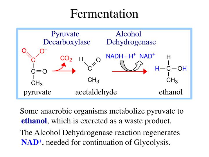 alcohol dehydrogenase adh reaction This chapter introduces a method for the enzymatic determination of acetaldehyde with alcohol dehydrogenase from yeast the method is based on the principle that alcohol dehydrogenase (adh) catalyzes the reaction as it is described in this chapter.