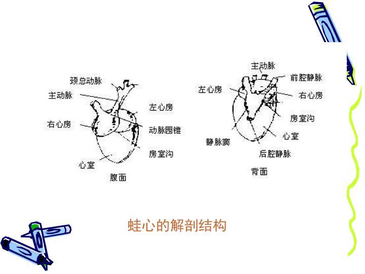 蛙心的解剖结构