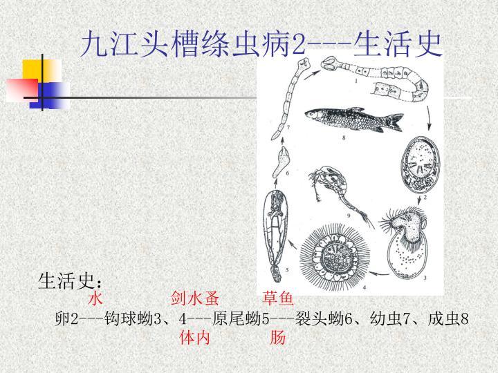九江头槽绦虫病2---生活史