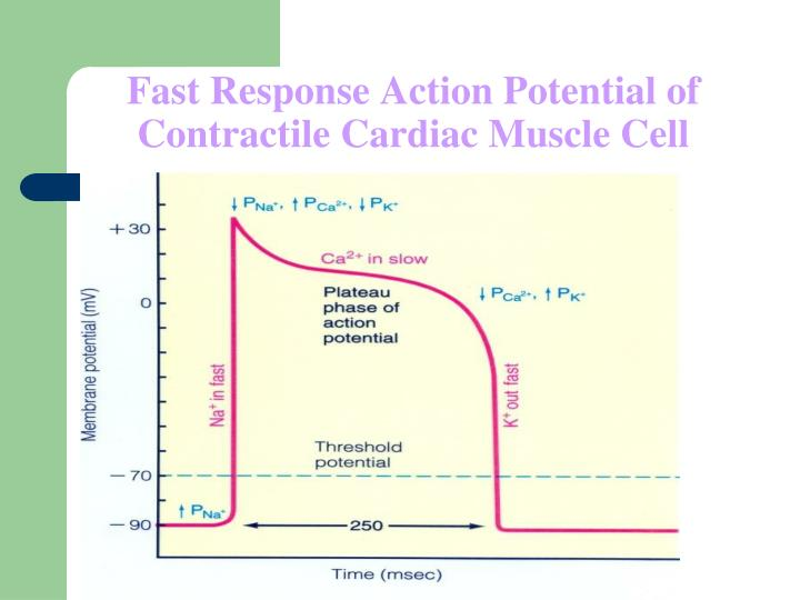 fast response action potential of contractile cardiac muscle cell n.