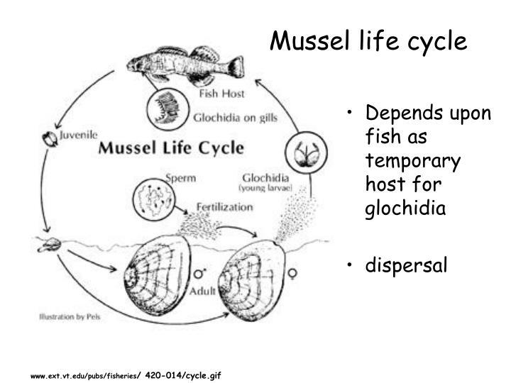 Glochidia Life Cycle