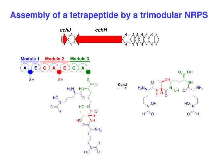 Assembly of a tetrapeptide by a trimodular NRPS