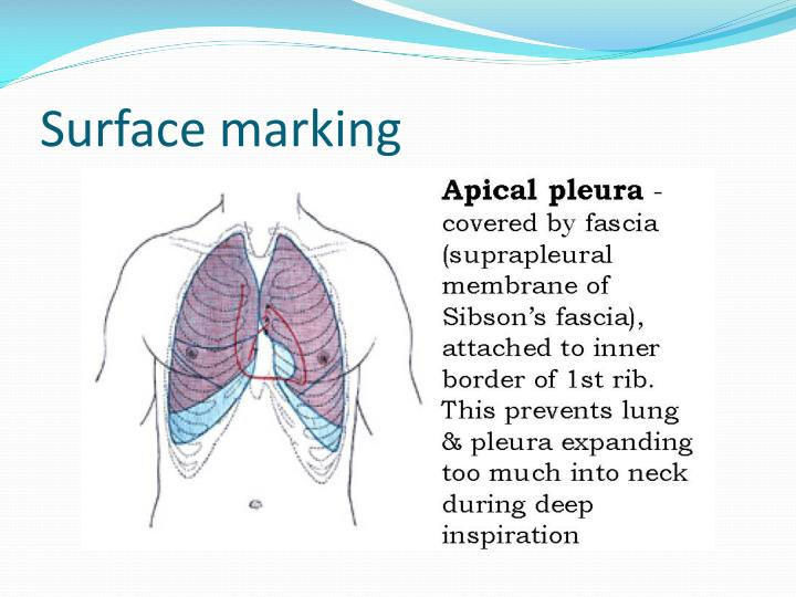 Ppt Anatomy And Physiology Of Pleura Powerpoint Presentation Id