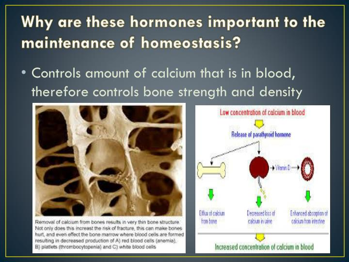 Why are these hormones important to the maintenance of homeostasis?