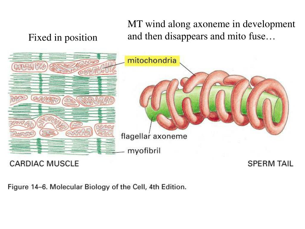 ppt - lecture 12 energy conversion  mitochondria and chloroplasts powerpoint presentation
