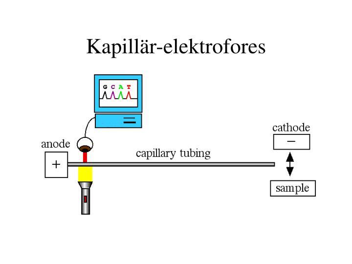 Kapillär-elektrofores