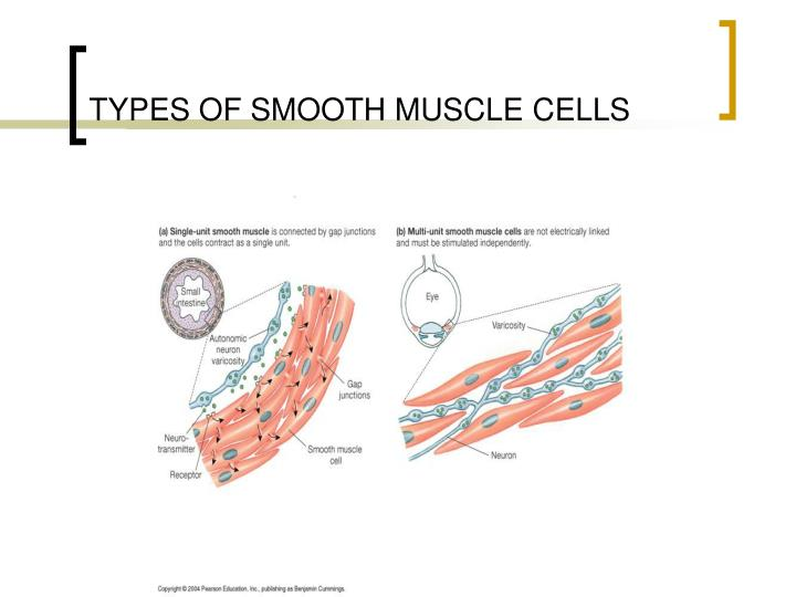 Ppt Completion Of Skeletal Muscle And Comparison To Smooth Muscle
