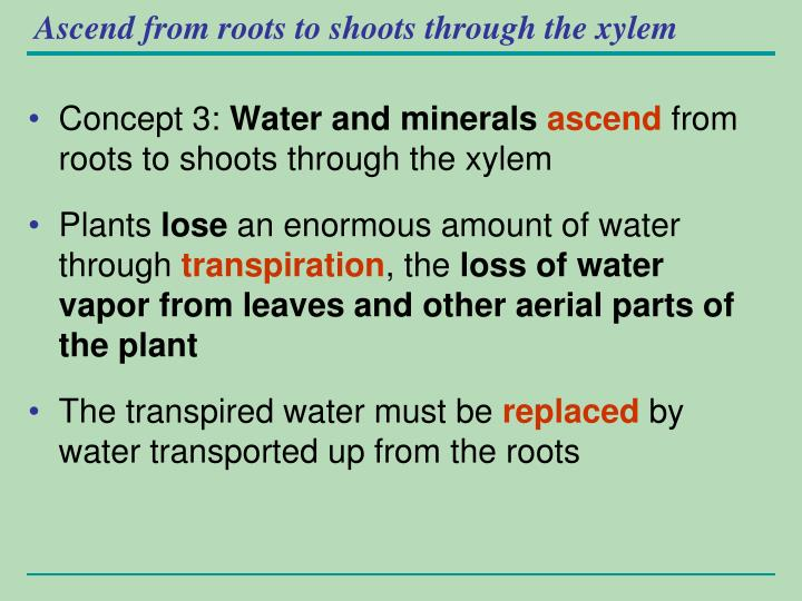 Ascend from roots to shoots through the xylem