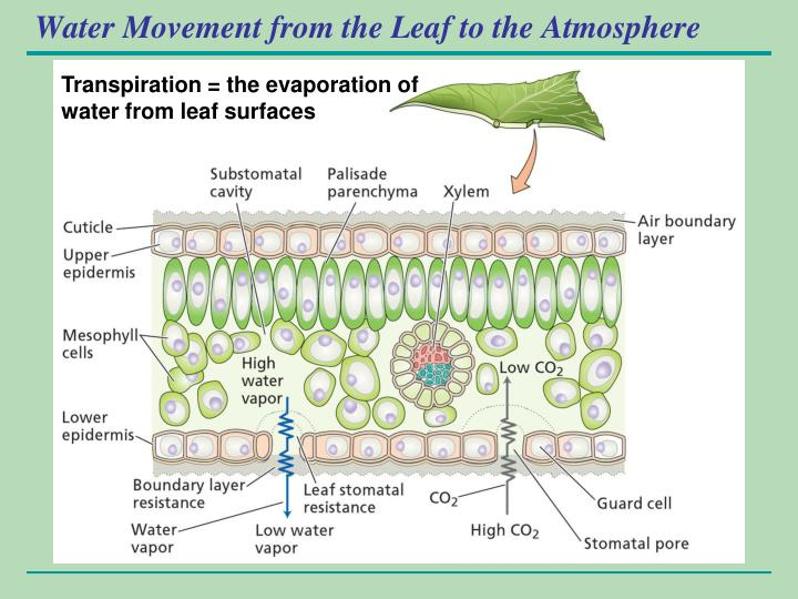 Water Movement from the Leaf to the Atmosphere