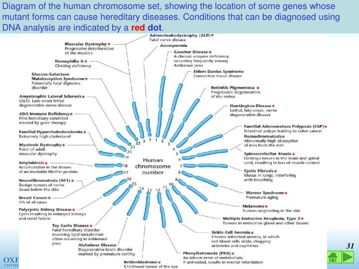 Diagram of the human chromosome set, showing the location of some genes whose mutant forms can cause hereditary diseases. Conditions that can be diagnosed using DNA analysis are indicated by a