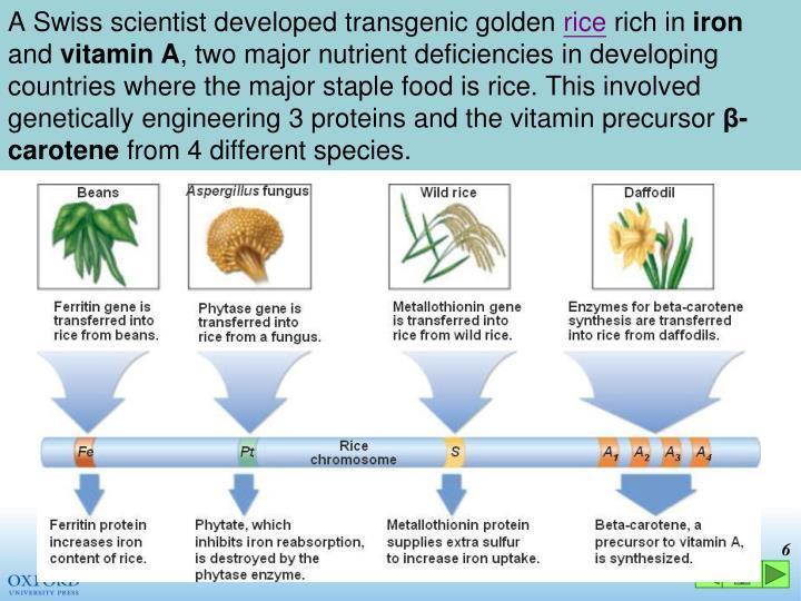 A Swiss scientist developed transgenic golden